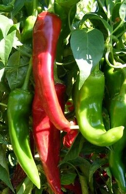 Organic Vegetable  Hot Chilli Pepper Numex Sandia  50 Finest Seeds
