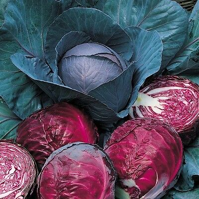 Organic Vegetable  Cabbage Red Drumhead  2.0Gm ~  600 Seeds
