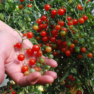 Organic Vegetable Tomato Currant Red 75 Finest Seeds