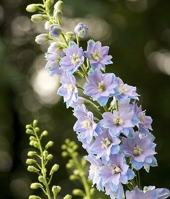 Perennial Flower Delphinium Dwarf Sky Blue With White Bee 60 Seeds