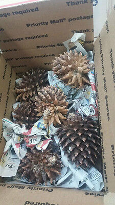Pine cones from Sierra Nevada Fresh Picked- 1-3 day shipping