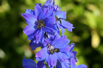 Perennial Flower Delphinium Pacific Giant Blue Jay 55 Finest Seeds