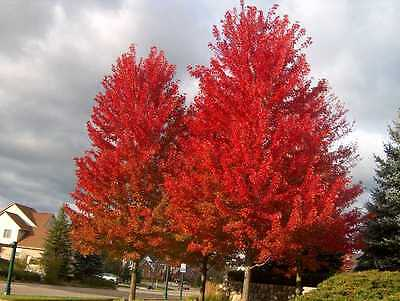 Red Maple, Acer rubrum, Tree Seeds (Fall Color, Fast, Hardy)