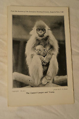 Capped Langur and Young - Zoological Society Of London - Vintage - Postcard.