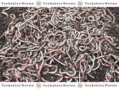 SMALL fresh DENDROBAENA FISHING WORMS (30g to 1 Kg) Great Hookers!