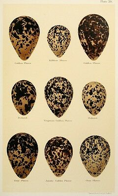 Print on A4 - H Seebohm - Coloured Figures of the Eggs of British Birds 226