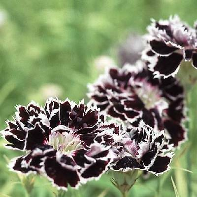 Flower Dianthus Chinensis Chianti Double 300 Flower Seeds