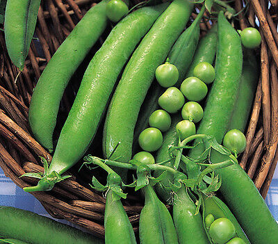 Vegetable  Pea Meteor Dwarf First Early  110 Finest Seeds  ** Free Uk P&p**