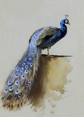 Reproduction Print on A4 - Archibald Thorburn -   Peacock