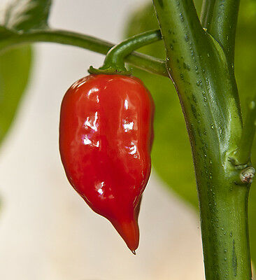 Organic Vegetable  Hot Chilli Pepper Habanero Maya Red  60 Seeds