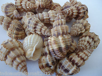 100 x Natural Spiral Peru Sea Shell Beads Tribal Jewelery Craft 25mm-40mm(S059)