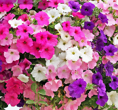 petunia budget mix 500 flower garden seeds all colors cannot send to W.A or TAS