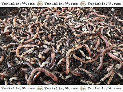 500g Fishing Worms -'YORKSHIRE-WORMS' Compost Wormery Worms Reptiles, Composting