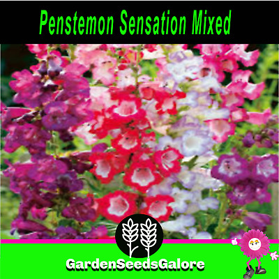 Penstemon sensation Mixed 200 cottage garden flower seeds