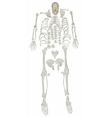 Disarticulated Skeleton - Full Life Size Anatomical Human Skeleton