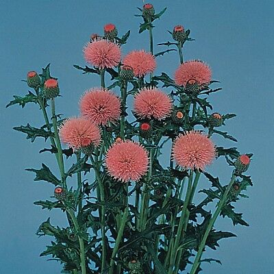 Cirsium - Pink Beauty - 25 Seeds