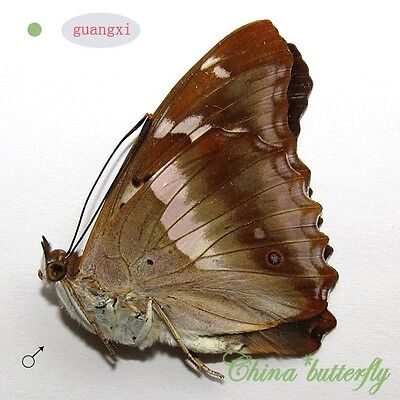collection unmounted butterfly nymphalidae apatura ilia GUANGXI CHINA  A1