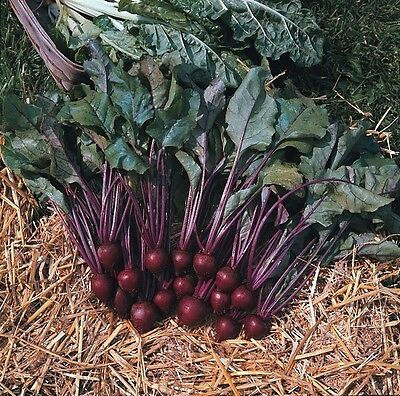 Kings Seeds - Beet - Beetroot Pablo F1