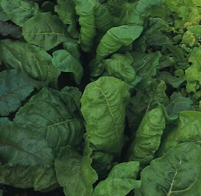 Kings Seeds - Beet - Leaf Beet Perpetual Spinach