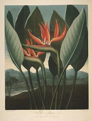 Reproduction Print on A4 - The Temple of Flora 1807 - Bird of Paradise Flower