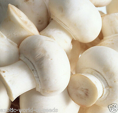 Champignon White Button Mushroom Easy Grow Spore Spawns In Professional Pack