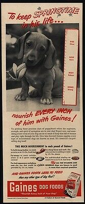1949 Cute DACHSHUND Puppy with Flower Loves GAINES Dog Food VINTAGE AD