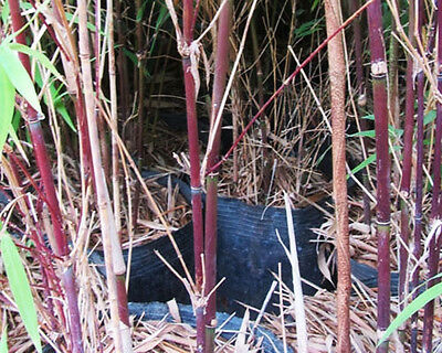 Fargesia albocerea 'Black' (Hardy chocolate-brown bamboo) V. Rare 10 fresh seeds