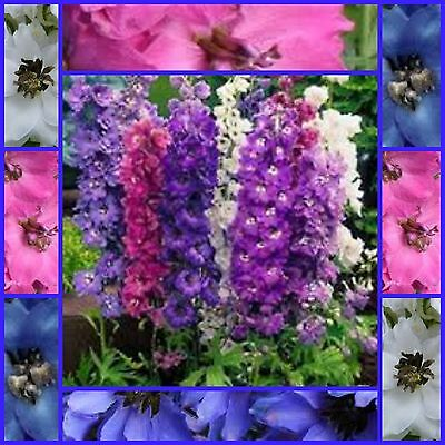 Delphinium tall pacific Mixed 80 cottage  garden flower seeds NOT FOR WA OR TAS