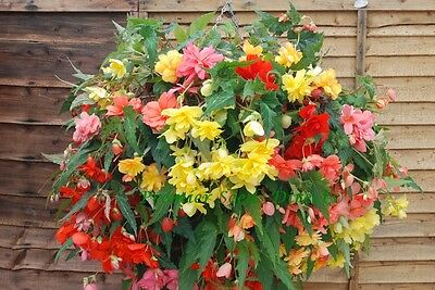 Flower Begonia Tuberous Illumination Mixed F1 15 Pellets