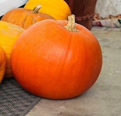 Vegetable  Pumpkin Big Max  350 Finest Seeds  Bulk