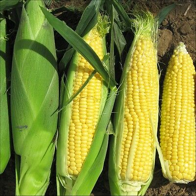 Vegetable  Sweet Corn Sweetcorn  F1 Rising Sun 50 Finest Seeds