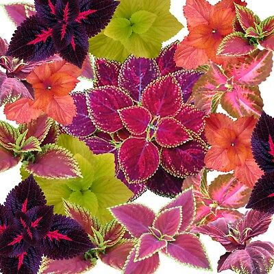 Coleus rainbow mixed 100 seeds colourful cannot send to W.A or Tas FREE POST