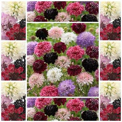 """Scabiosa Pin Cushion Flower  """"Tall Double Mixed"""" 40 cottage garden flower seeds"""