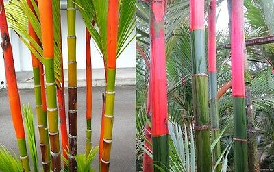 Cyrtostachys renda (lakka) Lipstick Palm *FRESH HARVEST June 2016*  5 Rare seeds