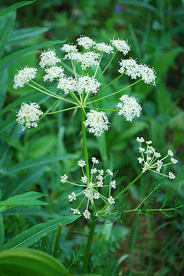 Herb  Caraway Carum Carvi L.  12 Gm ~ 4000 Finest Seeds