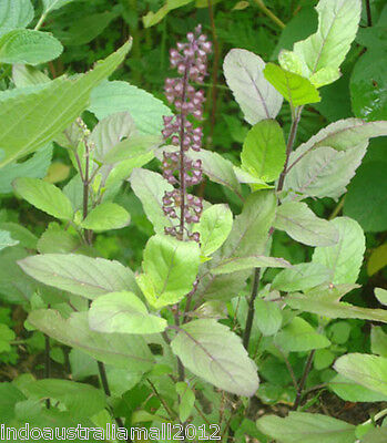 50 + Indian Holy Basil (Tulsi) Seeds - Fresh Sun Dried Herb Seeds