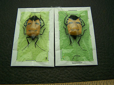 Catacantus Incarnathus MASK FACE beetle beetles insect insects bug bugs lot of 2