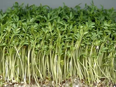 Sprouting Seeds Cress Plain / Curled / Common  75Gm ~ 30000 Seeds