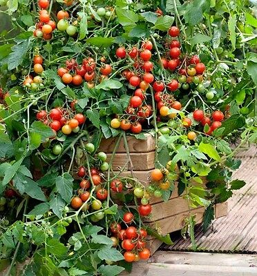 Vegetable Tomato Cherry Lizzano F1 10 Seeds Late Blight Tolerant