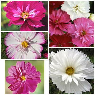 Cosmos Double Psyche Mixed 50 flower garden seeds easy to grow