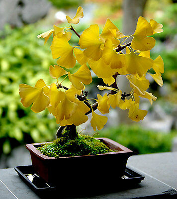Organic 5 Ginkgo biloba gingko Maidenhair Tree seeds nuts Bonsai Tree Seed