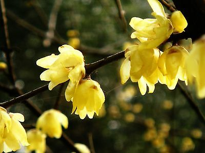 Heirloom 40 Seeds Chimonanthus praecox Fragrant Wintersweet Tree Yellow Flowers