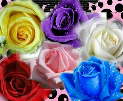 Heirloom 60 Seeds Bush Rose Red Pink Yellow Blue White Purple Garden Flower