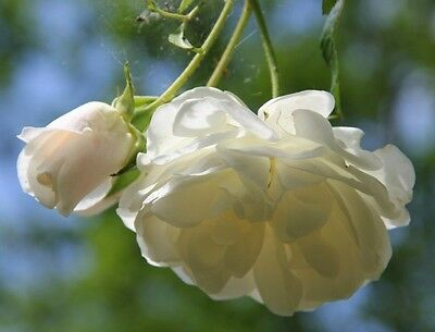 Heirloom 300 Climbing Rose Seeds Climber Pure White Color Perennials Flower Bulk