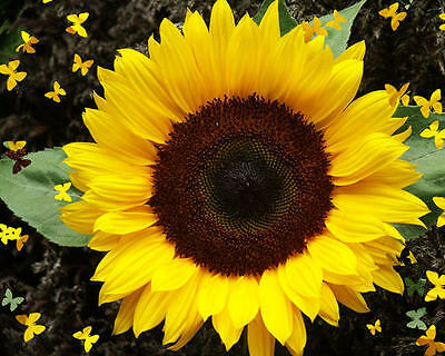 Flower Sunflower Dwarf Sunspot 90 Finest Seeds