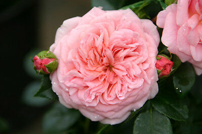 Boogie Woogie® - Container Rose im 5 ltr. Topf