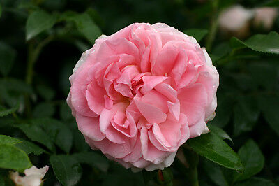Rosenfee® - Container Rose im 4 ltr. Topf