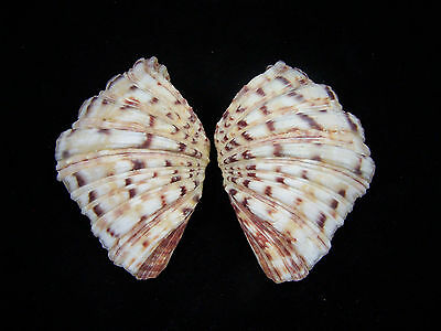 Giant Clam Shell Matched Pair Bear Paw Hippopus Hippopus 4 To 4 1/4 Inches