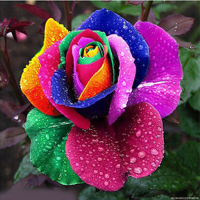 New 500Pcs Colorful Rainbow Rose Flower Seeds Fragrant Home Yard Decor