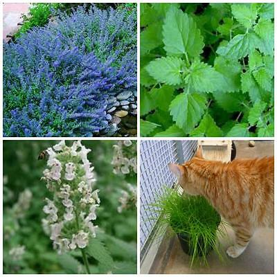 Catnip catmint cat grass seeds 1 packet of each your cat will love you